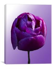 Purple Tulip on graduated background