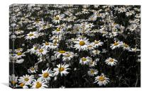 A Field of Daises, Canvas Print