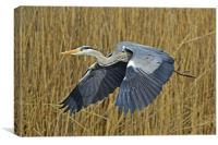 The Grey Heron, Canvas Print