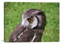 White Faced Owl, Canvas Print