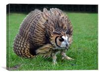 Peruvian Striped  Owl - Defending, Canvas Print
