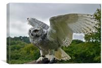4mth old Snowy Owl - wing display, Canvas Print