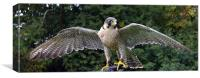 Peregrine/Lanner Falcon - display, Canvas Print