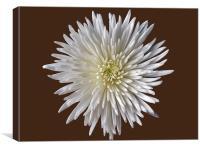 Bloom Chrysanthemum, Canvas Print