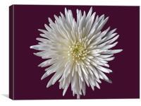 White Bloom Chrysanthemum, Canvas Print