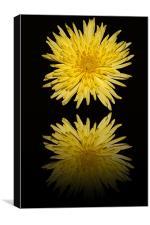Yellow Bloom  Chrysanthemum - Reflection, Canvas Print