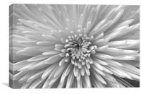 Black & White Bloom, Canvas Print