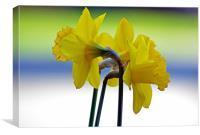 Daffodil Cluster, Canvas Print