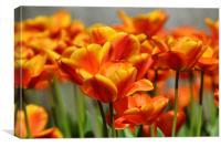 Orange tulips, Canvas Print