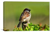 Sparrow, Canvas Print