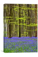 Micheldever Bluebell Wood, Canvas Print