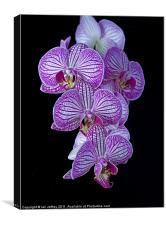 Purple Veined Orchid, Canvas Print