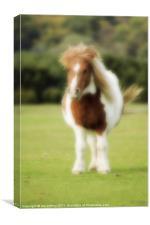 Shetland Pony, Canvas Print