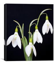 Snowdrops, Canvas Print