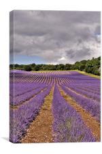 Lavender Field , Kent, Canvas Print
