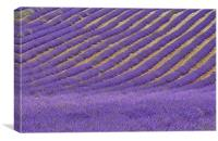 Field of Lavender, Canvas Print