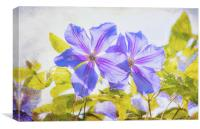 Purple Clematis, Canvas Print