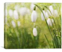 Spring Snowdrops, Canvas Print
