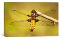 Female Dragon Fly, Canvas Print