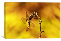Dragon fly, Canvas Print