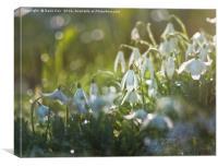 White Snowdrops, Canvas Print