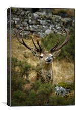 The peek-a-boo Stag, Canvas Print
