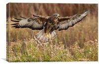 Buzzard over meadow, Canvas Print
