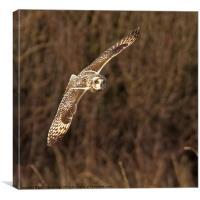 Short Eared Owl head on, Canvas Print