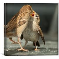 Sparrow Mother and Baby, Canvas Print