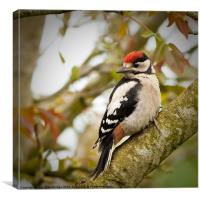 Great Spotted Woodpecker Fledgling, Canvas Print