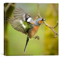 Flying chaffinch, Canvas Print