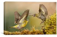 Siskin argy bargy, Canvas Print