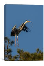 Heron flying in with twig, Canvas Print