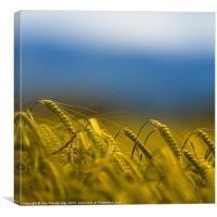 Barley field, Canvas Print
