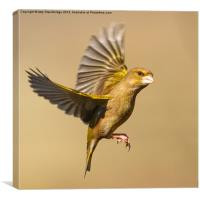 Greenfinch in flight, Canvas Print
