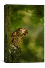 Tawny owl in the woods, Canvas Print