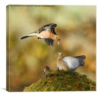 Bickering chaffinches, Canvas Print
