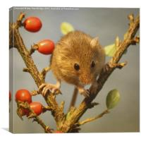 Harvest mouse (Micromys minutus), Canvas Print