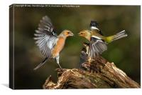 Chaffinch squabble, Canvas Print