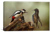 Stand off between woodpecker and starling, Canvas Print