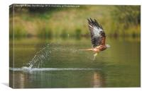 "Red Kite ""fishing"", Canvas Print"