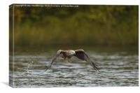 "Red Kite ""fishing"" at the lake in autumn, Canvas Print"