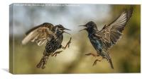 Mid air starling squabble, Canvas Print