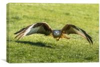 Red Kite Stare, Canvas Print