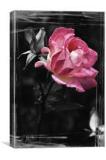 Pink Wild Rose, Canvas Print