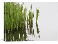 Reeds in pond, Canvas Print