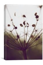 Hog weed Seed Head, Canvas Print