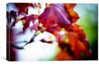 Maple Leaf blossom Torre abbey ., Canvas Print