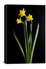 Narcissus, Canvas Print