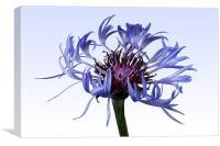 Centaurea montana, Canvas Print